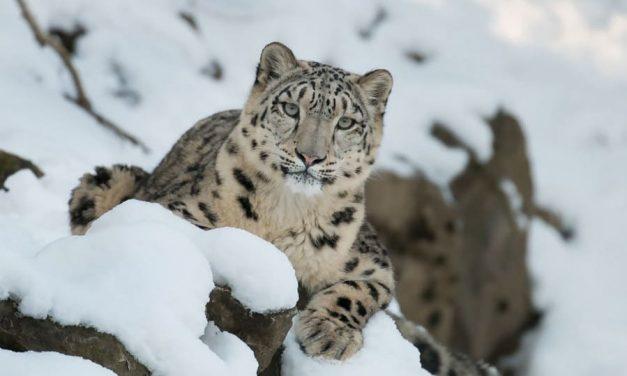 NP: La Inteligencia Artificial de Microsoft ayuda a salvar a los leopardos de las nieves de su extinción